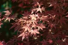Fall is a great time to plant Japanese maple trees. Bloodgood, like the one pictured here, is a popular selection and also a Mississippi Medallion award winner.