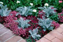 In a gardening world dominated by a sea of green, well-placed pockets of plants with silver and gray leaves is ever so striking, like in this planting of Sweet Alyssum and Dusty Miller.