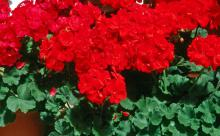 These deep scarlet geraniums from the Showcase series yield breathtaking color.