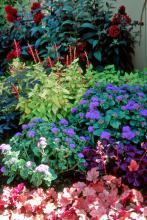 Golden Delicious pineapple sage combines wonderfully in this mixed container also featuring Creme Brulee heuchera, Artist Blue ageratum and Ruby Clusters cestrum.