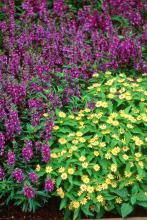 The Angel Mist lavender compact angelonia combines well with Million Gold Melampodium. The new compact Angel Mist angelonias will stay around 15 to 18 inches tall and bloom long before they need to be deadheaded.