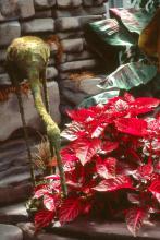 Blazin Rose Iresine