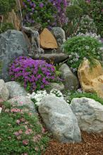 Tapien verbenas offer equally impressive toughness and beauty. They may be the ultimate groundcover with their dense carpet of green foliage topped off by gorgeous flowers most of the summer.