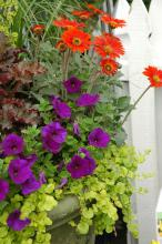The Goldilocks variety of Creeping Jenny is an excellent accent in mixed containers. With leaves that resemble small discs, Goldilocks will it serve as a colorful filler plant, then climb over and plummet down the container. The leaves have a lime green color that will turn an iridescent yellow given more sun.