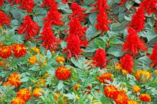Sizzler Red salvia and Zenith Red and Gold marigolds make a stunning combination in flower gardens. Mass plant the salvia for the best landscape impact. The scarlet sage comes in almost any color, including two tones, so it helps to know your color combinations.