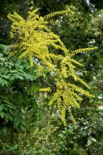 After a summer long drought and when many trees are defoliating, the goldenrain tree is in full bloom with sprays of yellow blossoms.