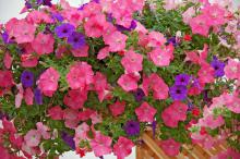 Incorporating the Easy Wave Coral, Shell Pink and Blue produces the Easy Wave Beachcomber mix. Easy Waves are spreading but more mounding than the petunias that are just called Waves.