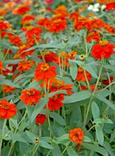 Profusion Knee High Red zinnias grow several inches taller than the typical Profusion zinnias that reach 15 inches. The flowers are the same size as Profusions, but with the taller habit, they develop a more open appearance.