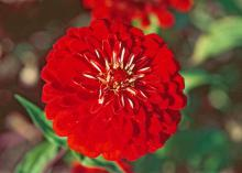 Benary Giant zinnias are renowned as cut flowers and are perfect options for summer wedding flowers. They come in many colors including this one in brilliant red. In Mississippi State University trials, they reached 39 to 42 inches tall with huge, dahlia-shaped blossoms.
