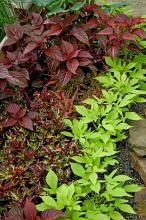 These lime-green Sweet Caroline sweet potato leaves provide a striking contrast to iresine and coleus varieties.