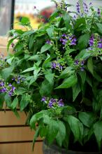 Maracas Brazilian Fireworks is a shade-loving plant that will reach 8 to 12 inches in height. The red cone with lavender purple flowers will delight hummingbirds. Consider the variegated silver and green foliage an added benefit.
