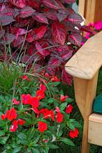 The Iresine Blazin Rose leaves will look like they are glowing when light hits them just right. They partner well with these red impatiens.