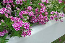 Star Brite phlox is one of several varieties from the Intensia series that was among the top two or three plants in trials across the country. In Mississippi State University trials, it bloomed from spring until frost.