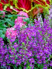 Serena angelonias, available in several colors, are heat- and drought-tolerant plants. Their spiky texture is welcome in the gardening world dominated by round flowers.