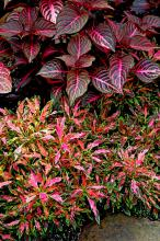 Blazin Rose iresine and Oompah coleus can produce an awesome monochromatic garden. This planting provided a great change in textures and patterns, but similar colors in softer hues of reds, pinks and greens.