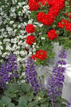 The Aztec Cherry Red verbena is a true red with no orange overtones. It too is perfect in this patriotic display combined with Mystic Spires Blue salvia and Abunda Giant White Bacopa.
