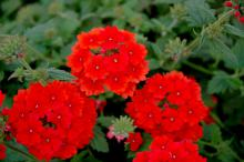 Fuego orange red verbena is a fiery, hot-colored plant coming from a company called Selecta First Class. Fuego is great in mixed containers or the landscape.