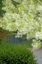 rancy Graybeard is a large shrub or small tree reaching around 20 feet tall. The glistening white, fringe-like flowers are produced by the thousands.