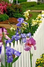 The bearded iris is a sight to behold because of the size and shape of the bloom as well as the deeply saturated colors. These spring blooms provide a colorful touch to this white picket fence.