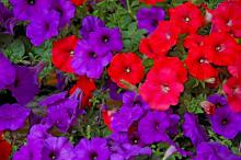 For a patriotic garden, Easy Wave Blue petunias are ideal flowering partners with Easy Wave Red petunias.