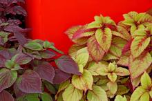 Gage's Shadow, a perilla/coleus hybrid, has shades of burgundy, purple and dark green. It is a perfect choice in combination with other coleus varieties.
