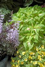 Magilla Vanilla perilla is green with a creamy vanilla color. It partners well with just about any color plants including this Mona Lavender plectranthus and yellow calibrachoa.