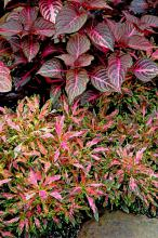 The branchy Oompah coleus, planted here below Blazin rose iresine, is impressive with its vibrant colors of citron green leaves with purple centers highlighted with violet flames.