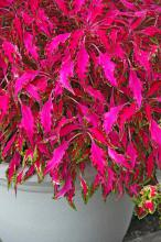 Pink Chaos is among the new coleus selections with long, weeping leaves that will thrill all gardeners. These foolproof plants reach 18 inches in height and have colorful foliage of iridescent pink, mint green and cream.