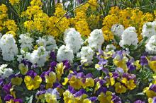 Matrix Morpheus pansies, Hot Cakes White Stock and Citrona erysimum blend beautifully for bright layers in this cool-season garden.