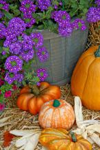 Blue verbenas are not traditionally found in fall displays, but they complement the oranges of pumpkins, gourds and other flowers very well.