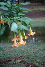 Angel's trumpets come in both yellow gold and rich pink and give an exotic and tropical look to gardens. They perform well in Mississippi gardens, and really strut their stuff in late summer and fall. (Photo by Norman Winter/ Mississippi State University horticulturist)