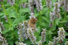 A Buckeye butterfly and bees feed on the early November flowers of the Blue Fortune agastache. This plant is loved for its beauty, toughness and licorice scent.