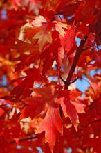 Autumn Blaze red maple leaves resemble the five-lobed and deeply cut leaves of its silver maple cousins.