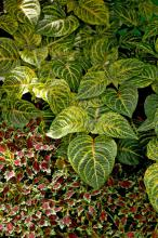 The Aurora Black Cherry coleus is compact, controlled and perfect for planting in front of the taller Blazin Lime iresine.