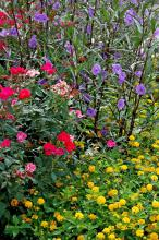 This garden provides a colorful combination of tough plants including the blue Mexican petunia, New Gold lantana and Knock Out rose.