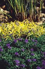 This 2007 garden was spectacular with Sweet Kate tradescantia separating King Tut papyrus, the tallest plant in the back of the border, and Homestead Purple verbena in front, which has flowers that complement Sweet Kate's golden lime-colored leaves.