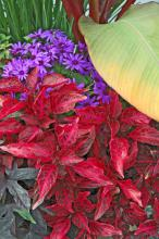 Senetti Blue pericallis are obviously in the daisy family, and they partner well with many colors. In this display, the electrifying cobalt color of Senetti Blue pericallis is stunning placed beside the reds of the Bloodleaf iresine.