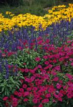This garden with a triadic color scheme has Prairies Sun rudbeckia, Evolution salvia and Tidal Wave Cherry petunia.