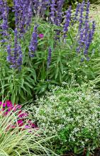 Diamond Frost euphorbia partners well with the showy Intensia Neon Pink phlox. Make a creative bed like this one with various textures by adding the spiky Victoria Blue salvia and the grassy Evergold Carex. (Photos by Norman Winter)