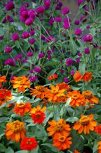 The All Around Purple gomphrena is a real trooper, reaching 24 inches tall and wide and blooming all summer in the South's intense heat and humidity. It is also quite attractive with orange flowers like the Profusion Fire zinnia. (Photo by Norman Winter)