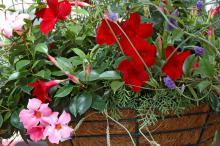 The red and pink Sun Parasols mandevilla are impressive in this mixed container.