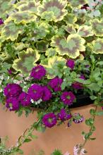 The Tricolor geranium has cream, green and a unique violet or purple zonal pattern. This planting uses Rapunzel Violet verbena to play off the pattern in the geranium. The container also has Bombay Pink verbena and Calypso Jumbo White bacopa. (Photos by Norman Winter)