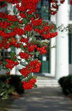 An old pyracantha grows next to a stately oak and drapes over it almost like Spanish moss. This combination is found not far from my office in Hinds County in front of the courthouse, which was built in 1857 and served as a hospital during the Civil War. (Photo by Norman Winter)