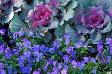 Penny violas look great with colorful kale and cabbage. Here the Penny Blue is partnered with a flowering cabbage. (Photos by Norman Winter)