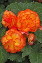 Nonstop Fire, or Begonia tuberhybrida, is a blaze of orange and yellow. The plants develop lateral branches, giving a great mounded look for baskets and planters. (Photos by Norman Winter)