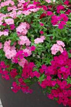 These two phlox, Astoria Hot Pink and Astoria Pink, complement each other in the landscape. (Photos by Norman Winter)