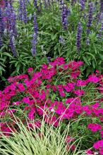 Intensia Neon Pink phlox is a perfect partner with Evergold carex and this towering Victoria Blue salvia.