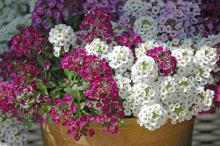Sweet alyssum is a little tiger of a plant. New varieties like the Clear Crystal series have made this plant even more of a must-have in the cool-season garden.