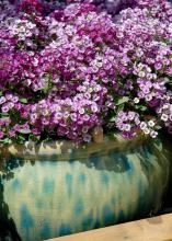 Clear Crystal Lavender Shades is a new variety of sweet alyssum that is a terrific cool-season flower. (Photos by Norman Winter)