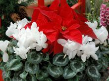 One of the showiest partnerships comes from combining the poinsettia with cyclamen, which come in several shades of red, pink, white, purple and extraordinarily beautiful variegated foliage.